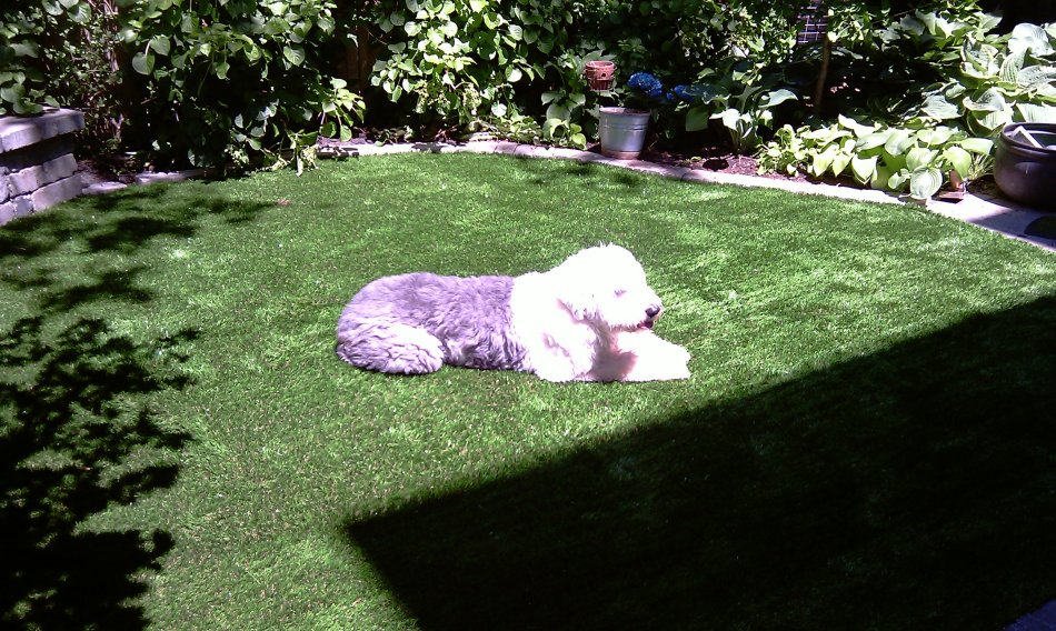 Dog enjoys his pet turf yard by laying in the sun